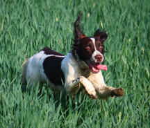 Dog Running Through Field with Abandon