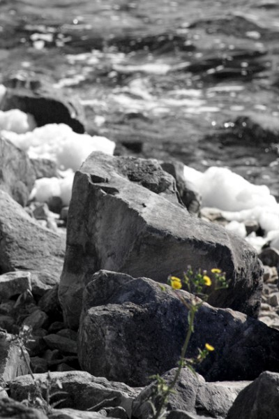 Flower Amidst Rocks